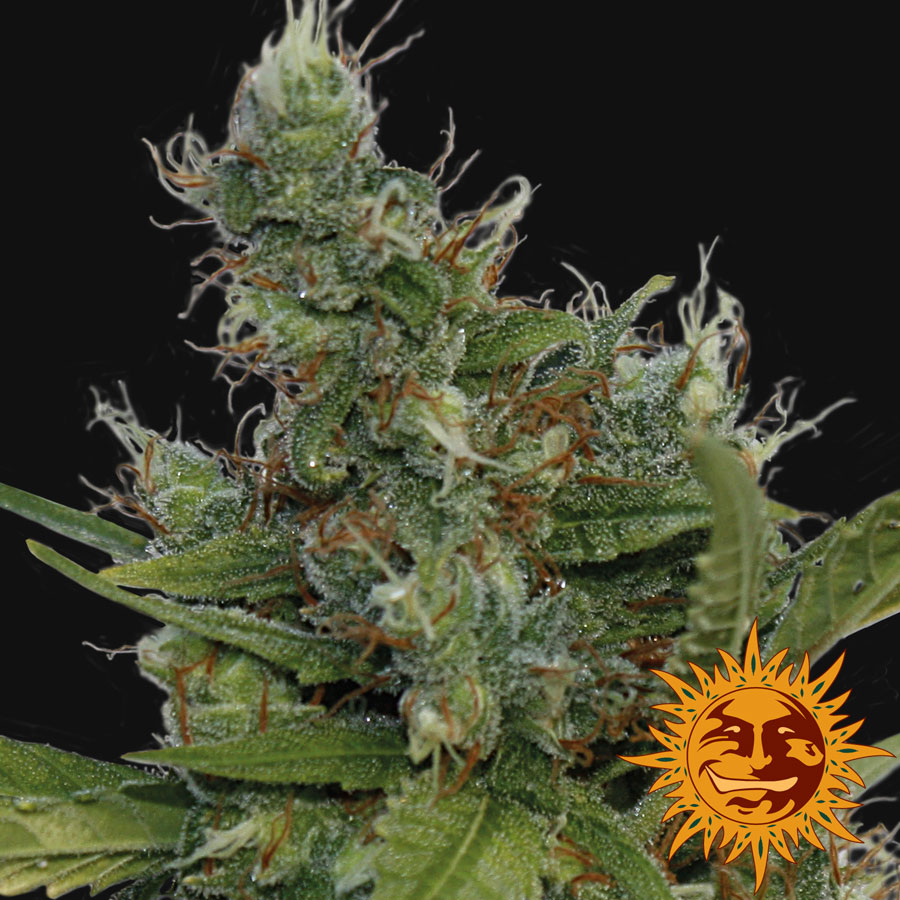 morning glory morning glory cannabis seeds cup winner rating morning ...